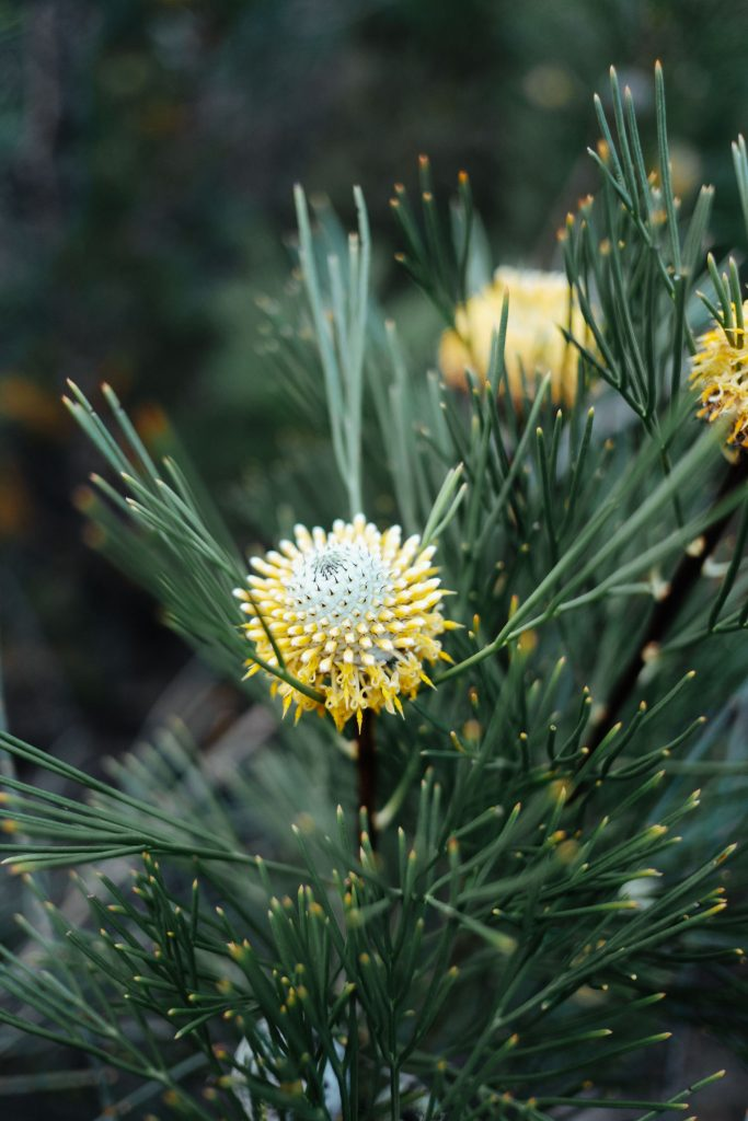 Photo of flowers, Narrow Leaf Drumsticks, Isopogon Anethifolius