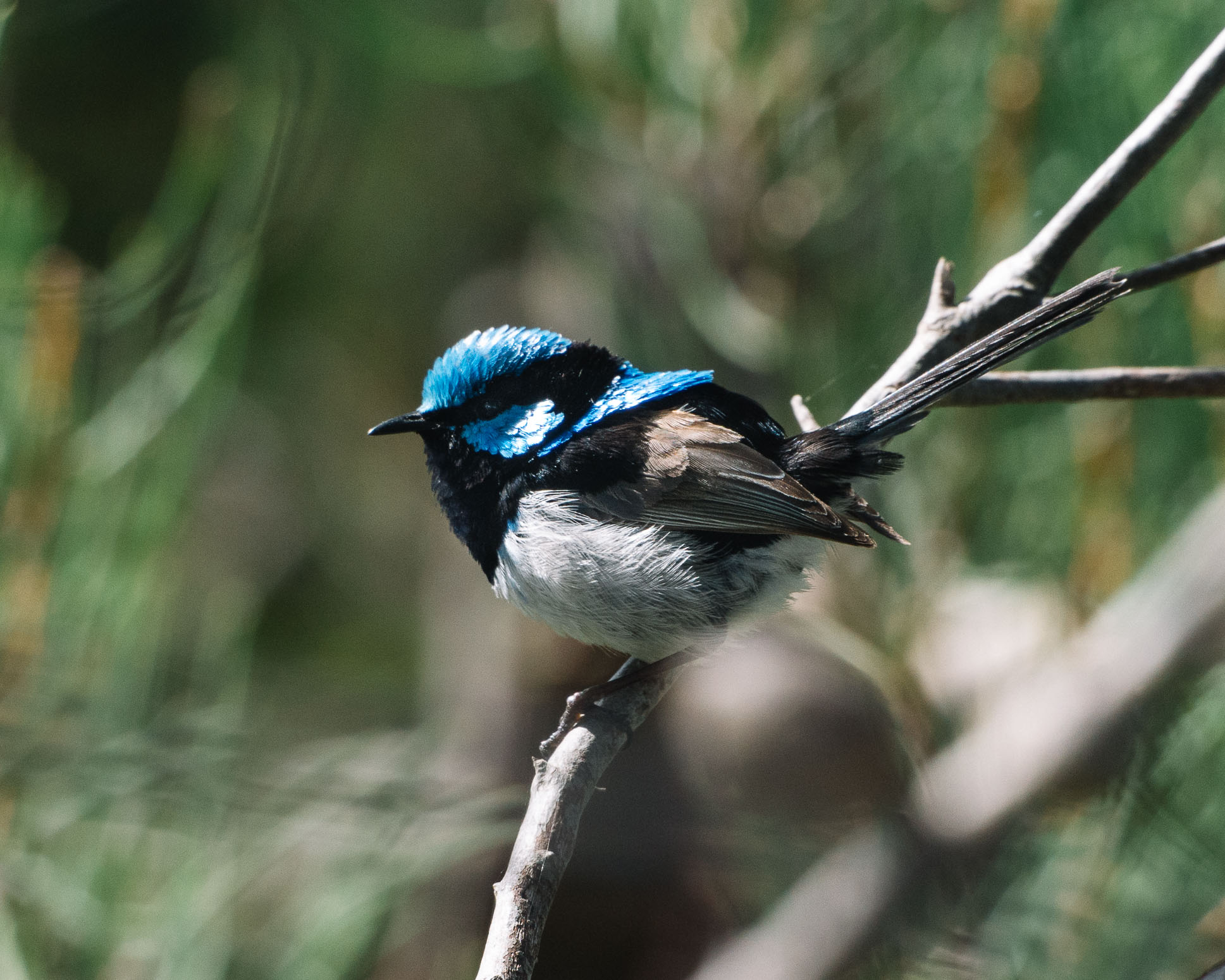 Close up photo of Super Fairy Wren